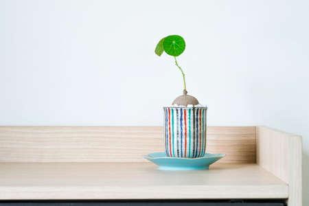 Stephania erecta in a minimalist ceramic pot on white