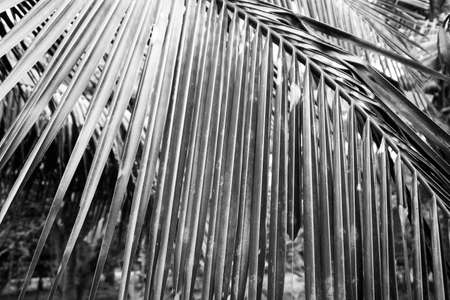 Black and white close up view of beautiful green palm leaf on natural background Imagens