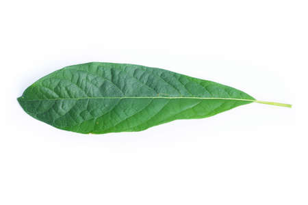 Leaves of the avocado tree. Green leaf isolated on white background.