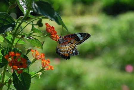 thialand: monarch butterfly thialand