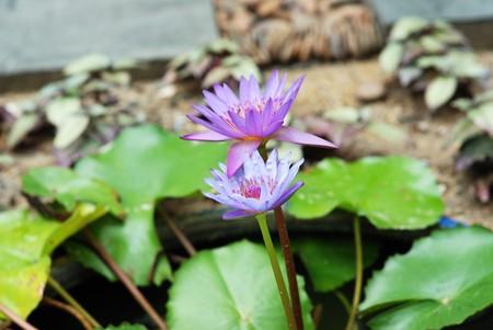 calyxes: lotus in water in  pond