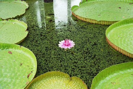 Lotus  Victoria of the thailand