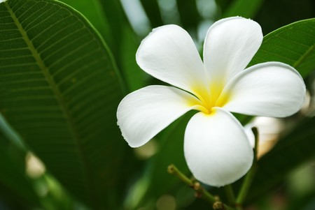 Frangipani #1 Stock Photo