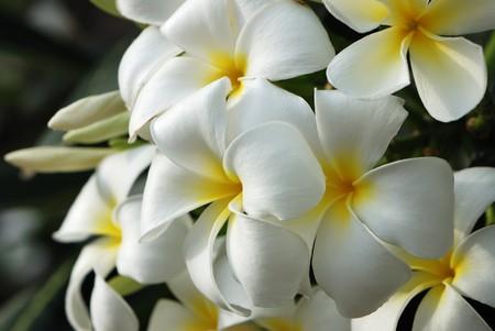 plumeria flower: Frangipani #4