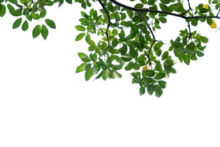 green leave on white background Stock Photo - 8554792