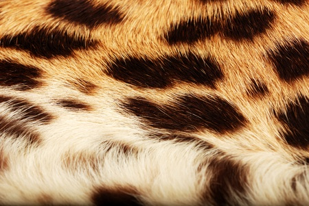 skin of the leopard photo