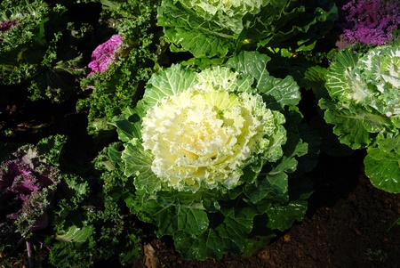 flowering kale: Flowering kale cabbage