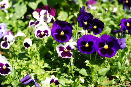 Pansy violet Flower Viola in the garden Stock Photo