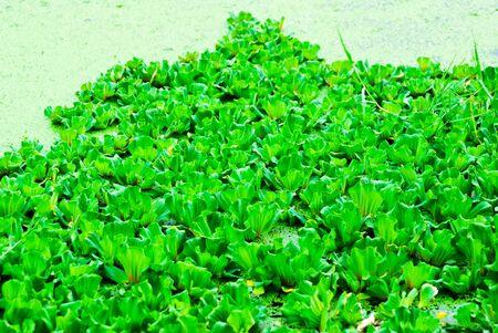 salvinia: green  pistia stratiotes