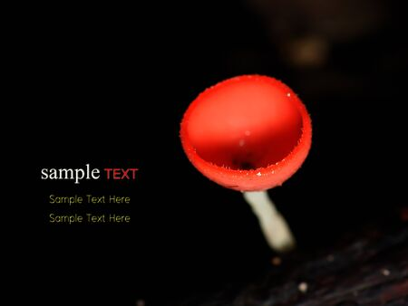 red mushroom cup fungi in the tropical rain forest Stock Photo