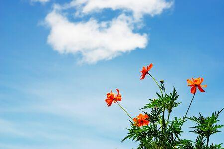 Marigold  blossom flowers 1 photo