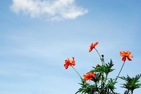 Marigold  blossom flowers  Stock Photo