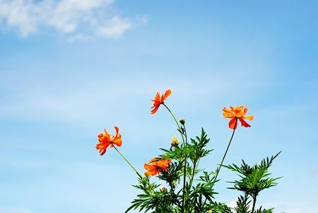 Marigold  blossom flowers 2