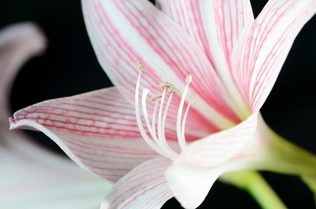 Lily flower isolated on black background Stock Photo