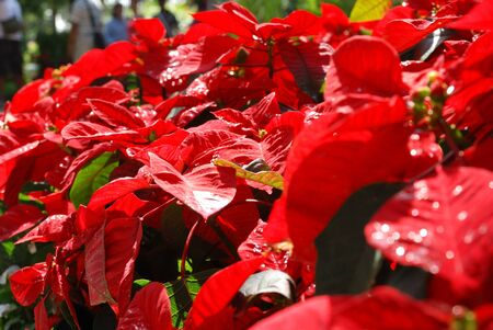 red poinsettia flowers Stock Photo