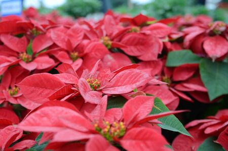 red poinsettia flowers photo