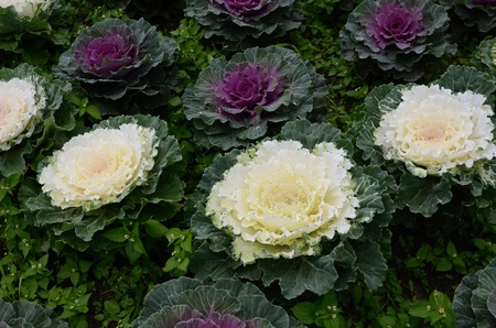 Beautiful Flowering Cabbage in the garden , Chiang Mai, Thailand Stock Photo