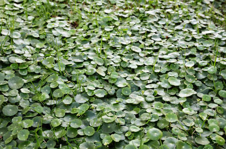 Scientific name is Centella asiatica