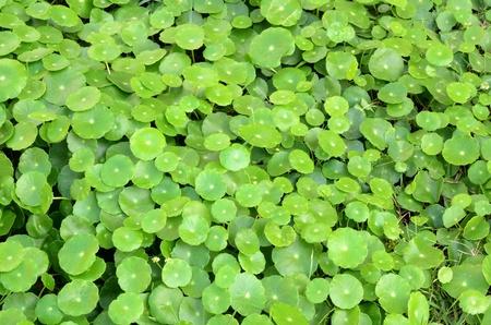 Centella asiatica photo