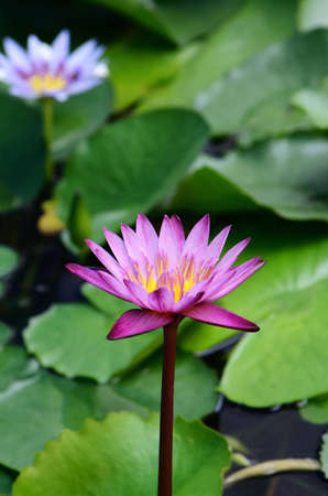 purple water lily in  water,Thailand