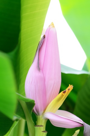 A pink banana flower being pollinated  Stock Photo