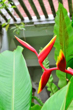 Beautiful Heliconia flower blooming in vivid colors Stock Photo - 15480326