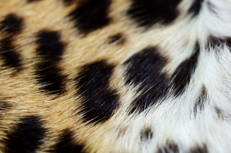 Fur of the leopard Stock Photo