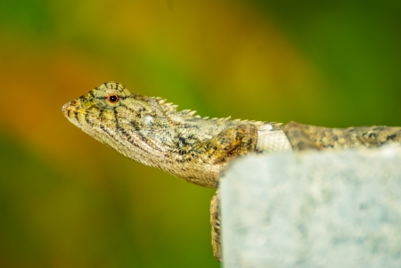 chameleon in the nature Stock Photo - 19121024