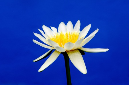 lotus flower on blue background Stock Photo - 20438683
