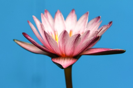 Purple Water Lily on blue Background Stock Photo - 20438700
