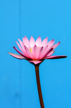 Purple Water Lily on blue Background  Stock Photo - 20438649