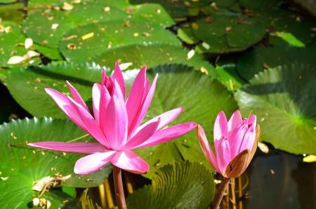 Lotus pink flower Stock Photo - 23188037