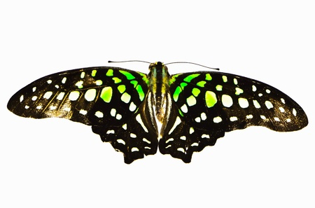 yellow and black butterfly Isolated on White