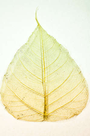 skeleton leaf pho  Stock Photo