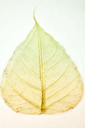 skeleton leaf pho Stock Photo - 23188039