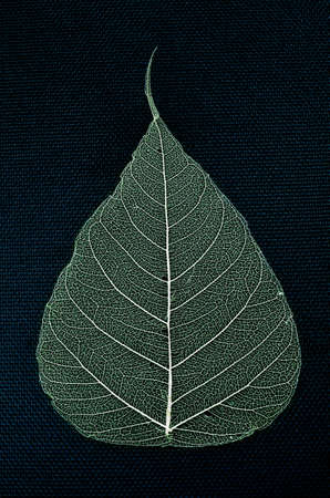 skeleton leaf pho dried on a navy blue background  Stock Photo - 23188040
