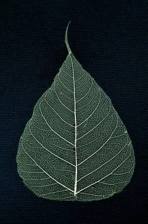 skeleton leaf pho dried on a navy blue background Stock Photo - 23188040
