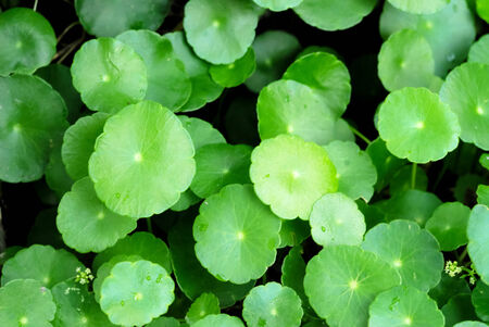 Herbal Centella Asiatica Stock Photo - 24055254