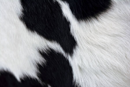 dairy cow: Cow fur texture