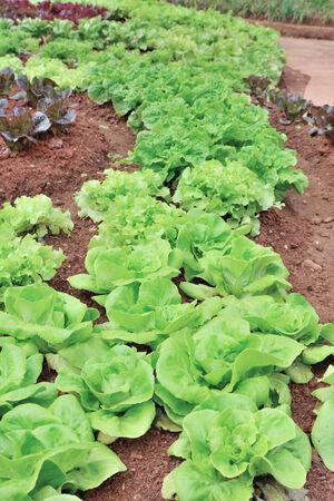 green vegetable Stock Photo