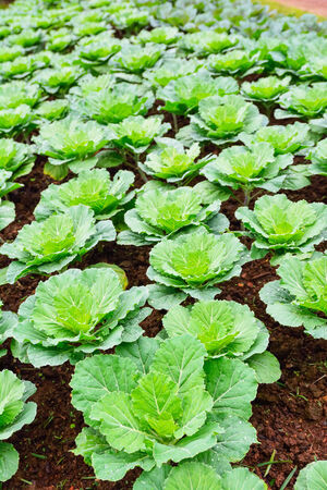 Cabbage plantation green agriculture Stock Photo