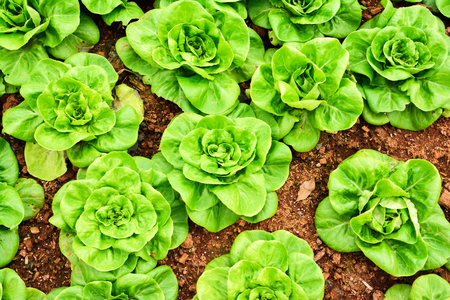 butterhead lettuce vegetable photo