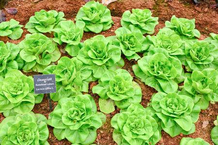 butterhead lettuce vegetable Stock Photo