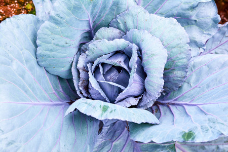 Many green cabbages in agriculture fields