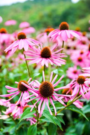 Pink Black-eyed susan in garden