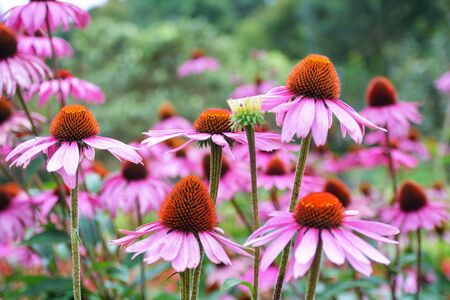Pink Black-eyed susan in garden photo