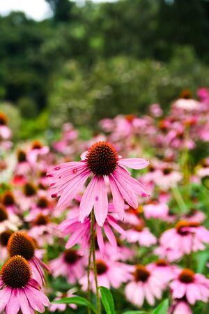 Pink Black-eyed susan in garden
