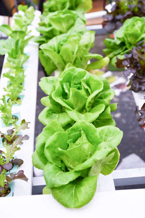 Hydroponic vegetable planting green lettuce