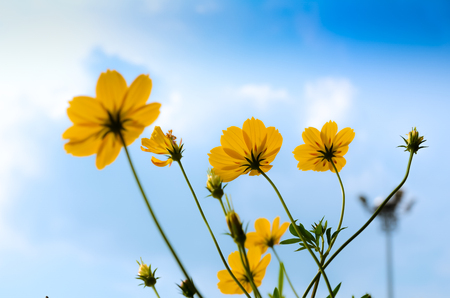 Yellow Cosmos flowerSulfur Cosmos background