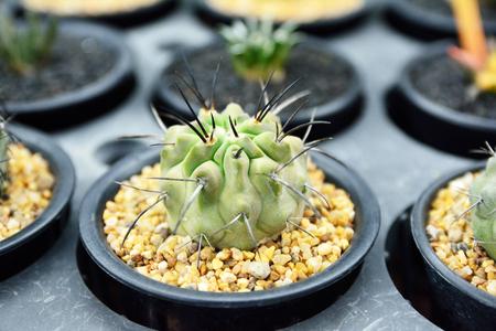 Cactus in the pots. Little Desert tree